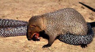 Mangouste cobra