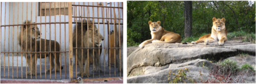 Lions, old & New Zoo