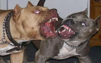 Fight pitbull