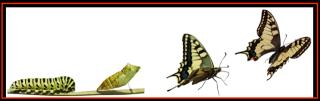 Chenille Papillon