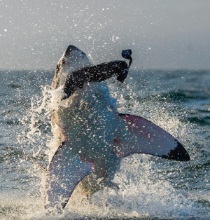 AdS DPC Shark eat phoque S 127868480