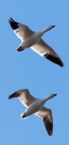 AdS DPC Deux oiseaux migrateurs S 87179078