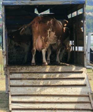 AdS DPC Cow in truck S 125969774